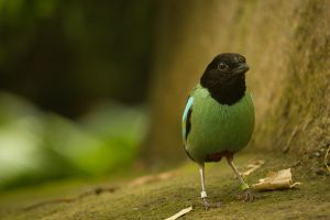 Hooded Pitta by toshema