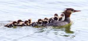 Merganser Brood by Behrfeet