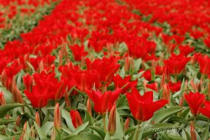 Red by Gambassi