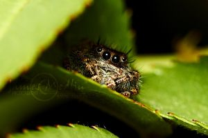 jumping spider 58 by JamesMedlin