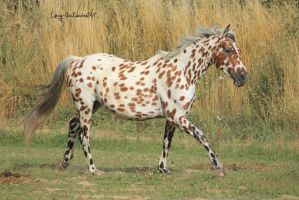 Leopard Horse 3 by Linay-stock
