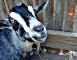 Dylan The Goat by BVBG