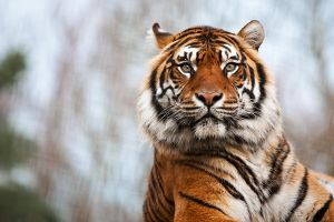 Sumatran Tiger by PeteLatham
