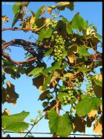 still life on the vine by Nariane