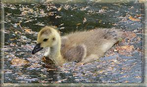 Little Goose by FrankAndCarySTOCK