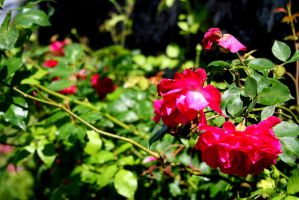 Roses are red... by neeuq2006