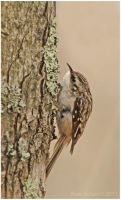 Brown Creeper by Ryser915