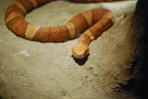Copperhead by ManitouWolf