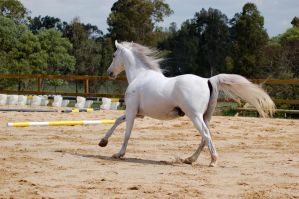 arab canter away but side on by Chunga-Stock