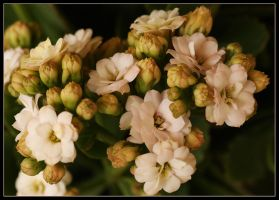 Kalanchoe Double.. by Firey-Sunset
