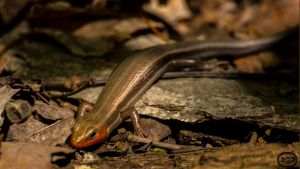 A Broad-headed Skink, what did you call me? by GlenRoberson