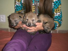 czech wolfdog puppies 5 by Blondlupina