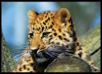 baby Amur Leopard by puzzled2007