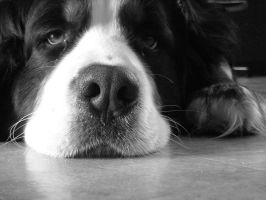 Bernese Mountain Dog-Rocky by TheCuteVampire