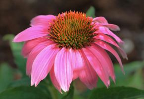 Bright Pink Cone Flower by Monkeystyle3000