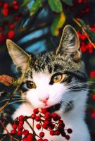 Rowanberry kitten by SaNNaS