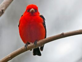 Scarlet Tanager by MichelLalonde