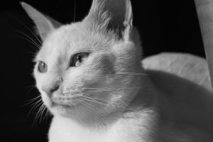 cat in black and white two by bobbyfufu