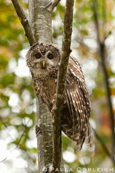 I spotted a Northern Spotted Owl by La-Vita-a-Bella