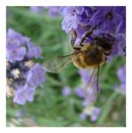 Bee and Lavender by karron