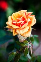 Yellow rose by gadgetsguru