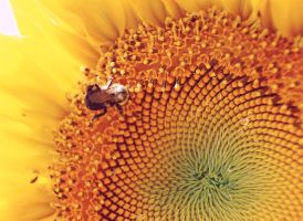 Bee and Sunflower 3 by photozz