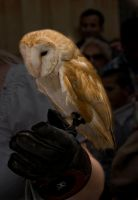 The Barn Owl by ruthsantcortis