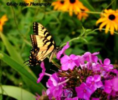 Swallow Tail by RobyRidge