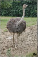 Ostrich by 22photo