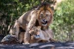 Mating Lions by vinayan