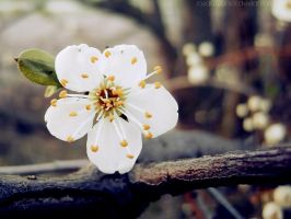 Wild blossom by rosaarvensis
