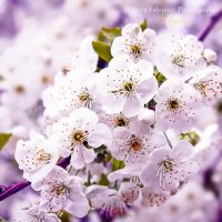 Cherry blossom 2 by ironicna