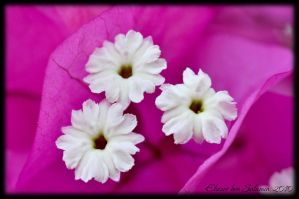White flowers on pink by bensalamin