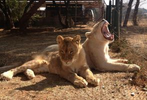 Young lioness yawn 2 - stock by kridah-stock