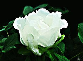 white rose by gameover2009