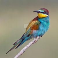 Looking Sharp  - European Bee-eater by Jamie-MacArthur