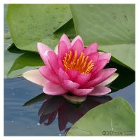 Pink Water Lily by texasghost