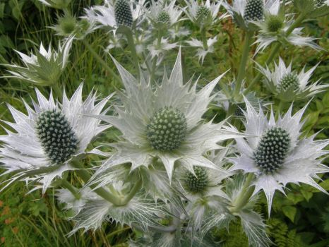Spikey plant at Howick Gardens by Miss-Pengywin