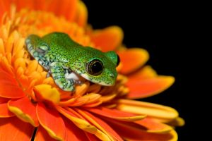 Peacock frog for print by AngiWallace