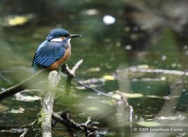 Kingfisher by InsaneGelfling