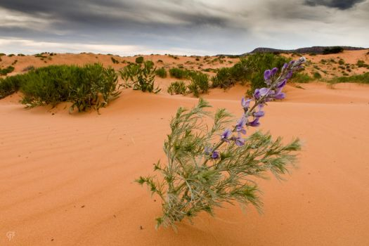 Coral Pink Sand Dunes by FabulaPhoto