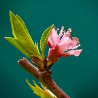 peach blossom by justerZ