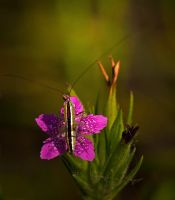 katydid on a Pink Deptford by boron