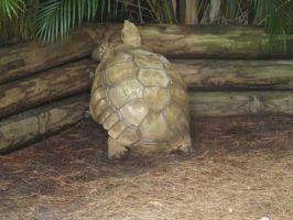 African Spurred Tortoise by Deede25