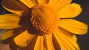 Yellow Flower Macro by TheGerm84