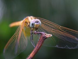 dragonfly... by trailofinsects