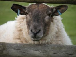 ewe looking at me by elliemoo