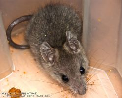 wild house mouse 2 by ayukat
