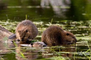 The Beaver Family by Robin-Hugh