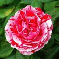Raspberry Ripple Rose by EarthHart